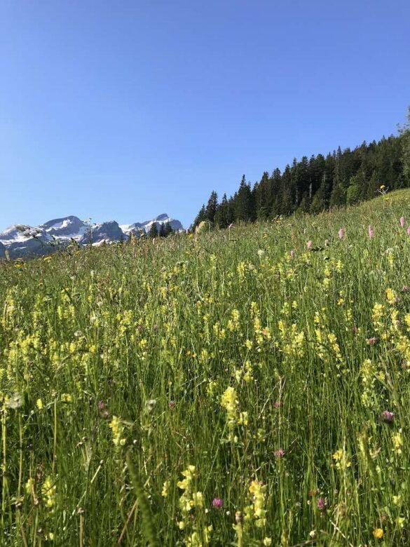 Blühende Alpwiese bei Feutersoey