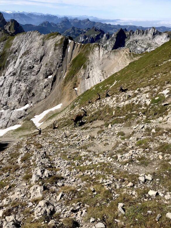 Steinböcke beim Altmannsattel
