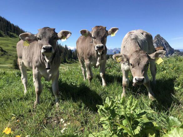 Bild von drei jungen Kühe