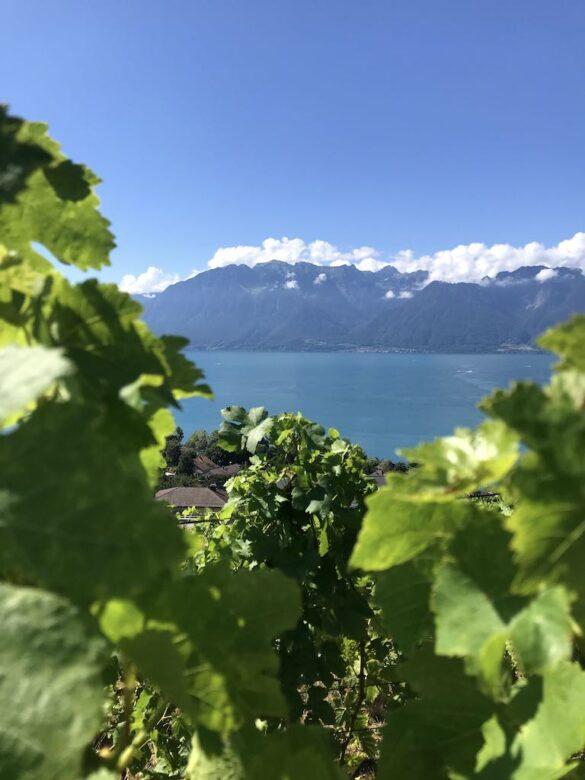 Weinrebe und See