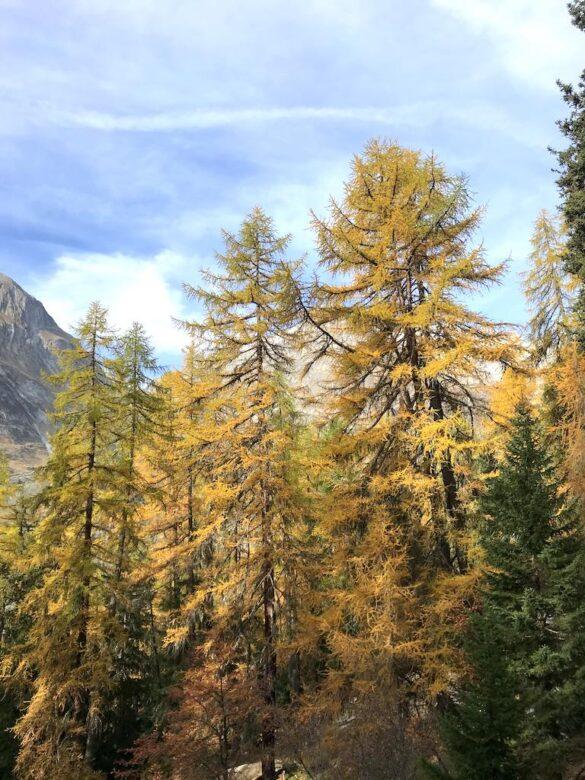 Aletschwald im Herbst