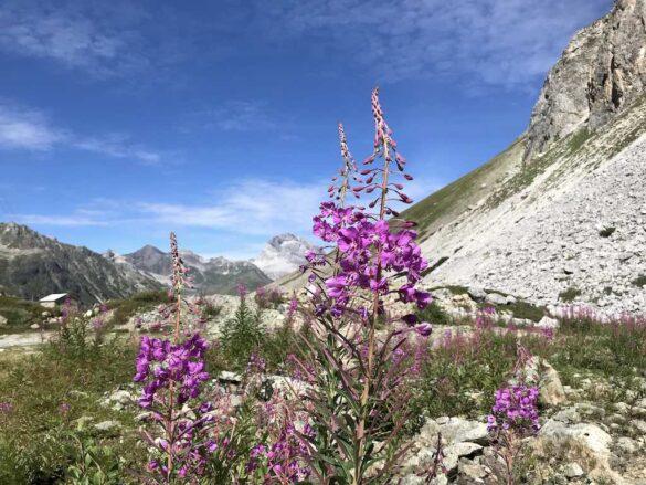 Bergblumen beim Albulapass