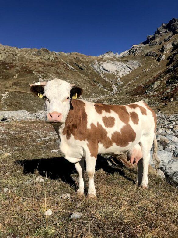 Kuh auf der Lauchernalp