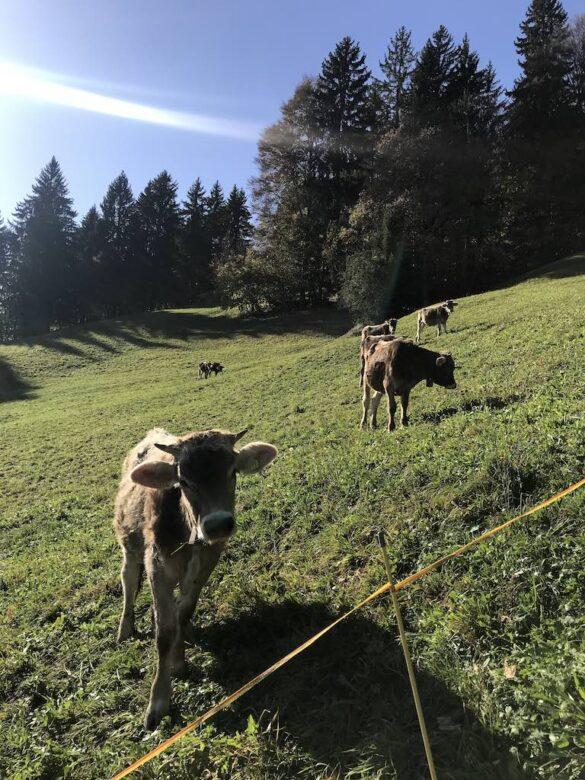 Kühe auf Alpweide