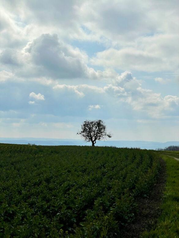 Einzelner Baum vor Rances