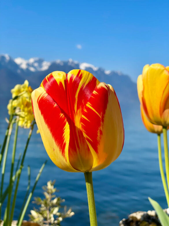 Tulpen an der Riviera